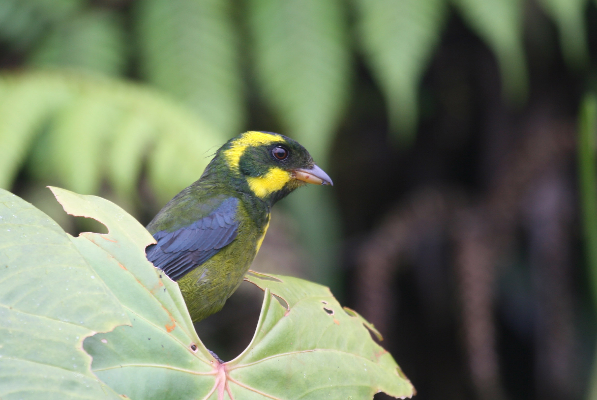 A stunning female Gold-ringed Tanager near her nest