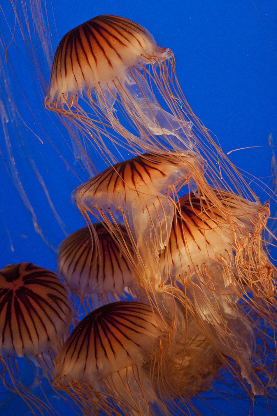 Jellyfish at the Vancouver Aquarium.
