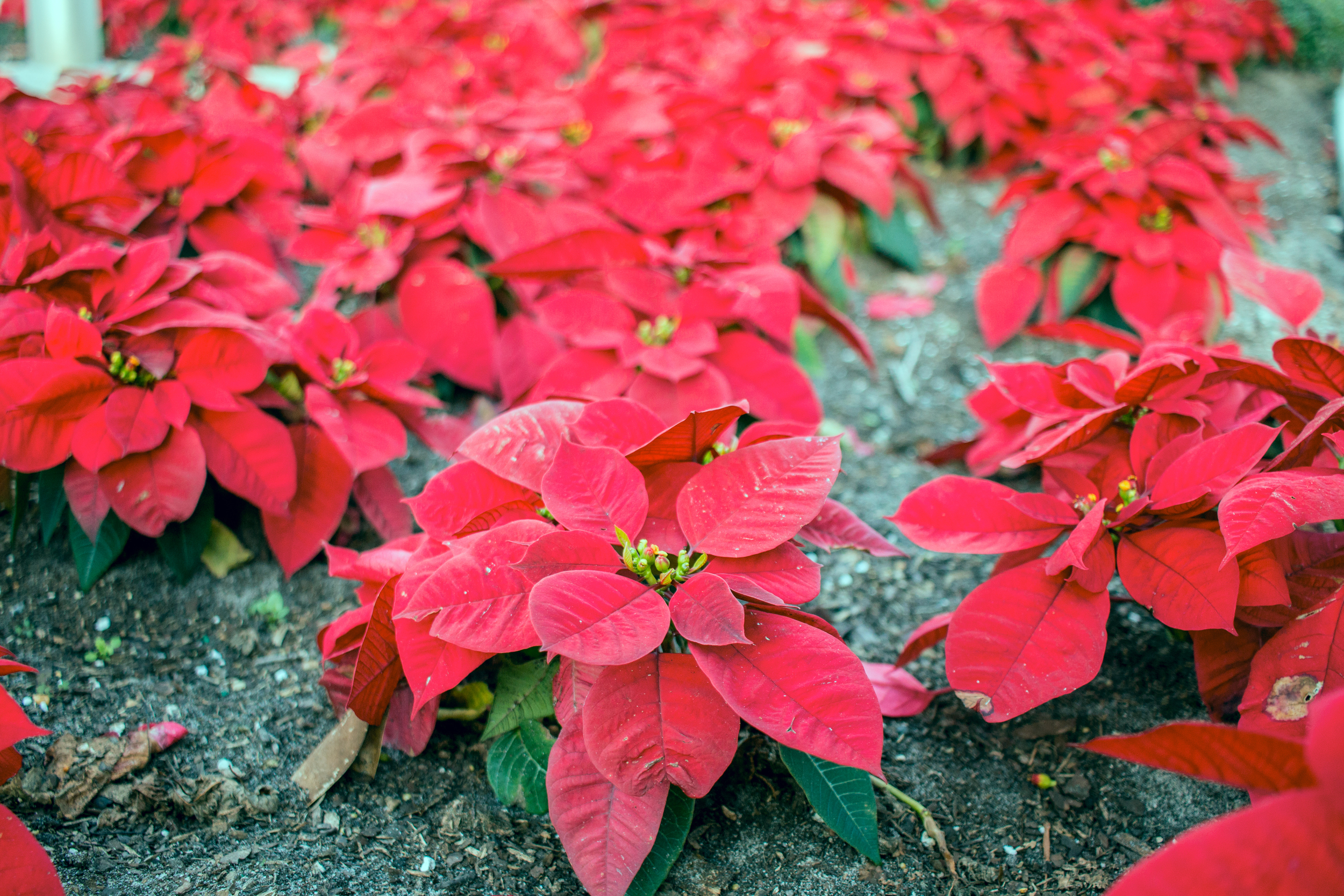 Imagine a world where poinsettias are planted in the ground...that world is Florida.