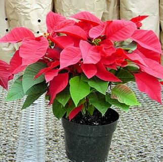 "6.5"" Poinsettias"