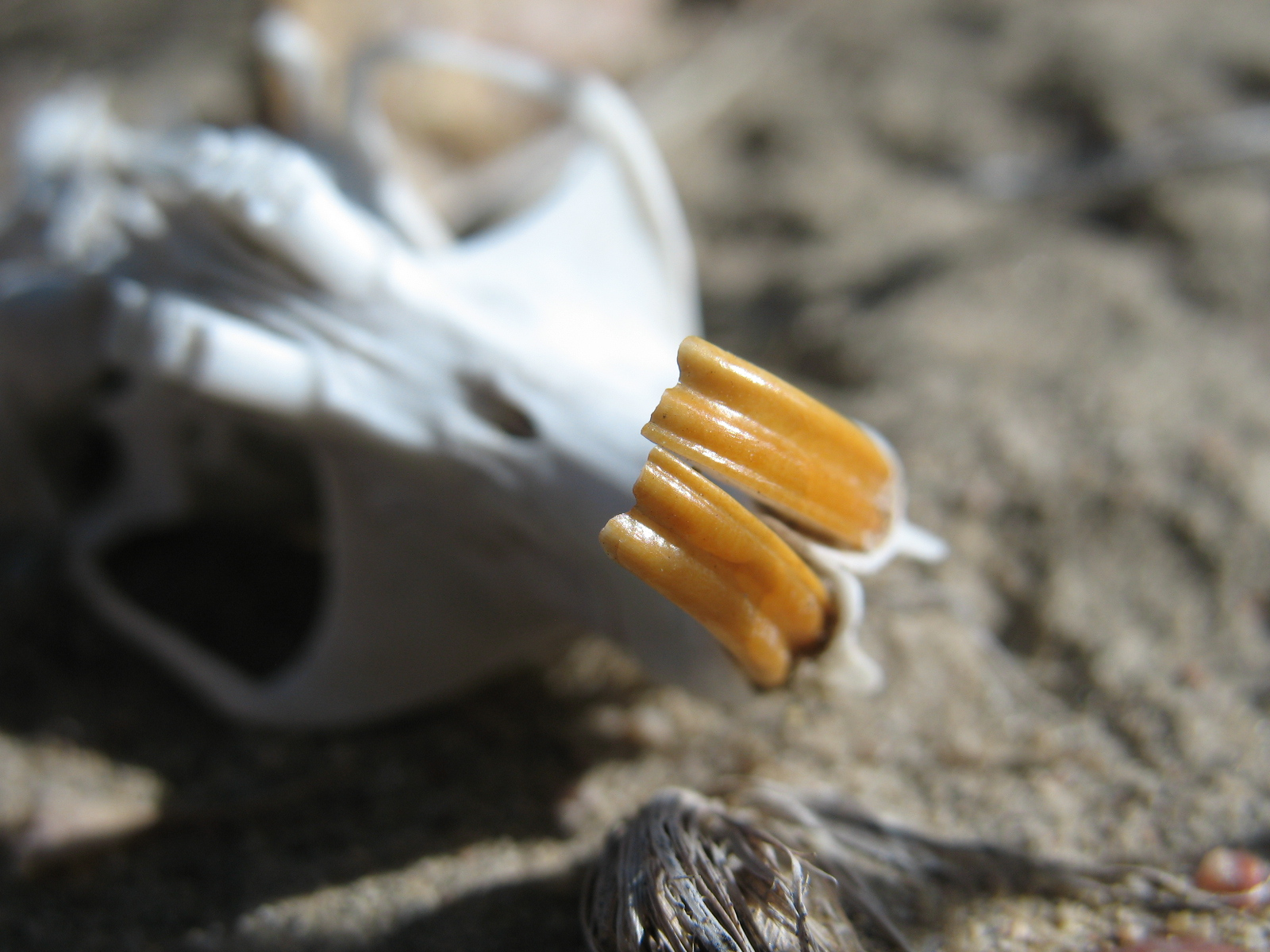 Photo by Author of a Squirrel skull in rural Colorado