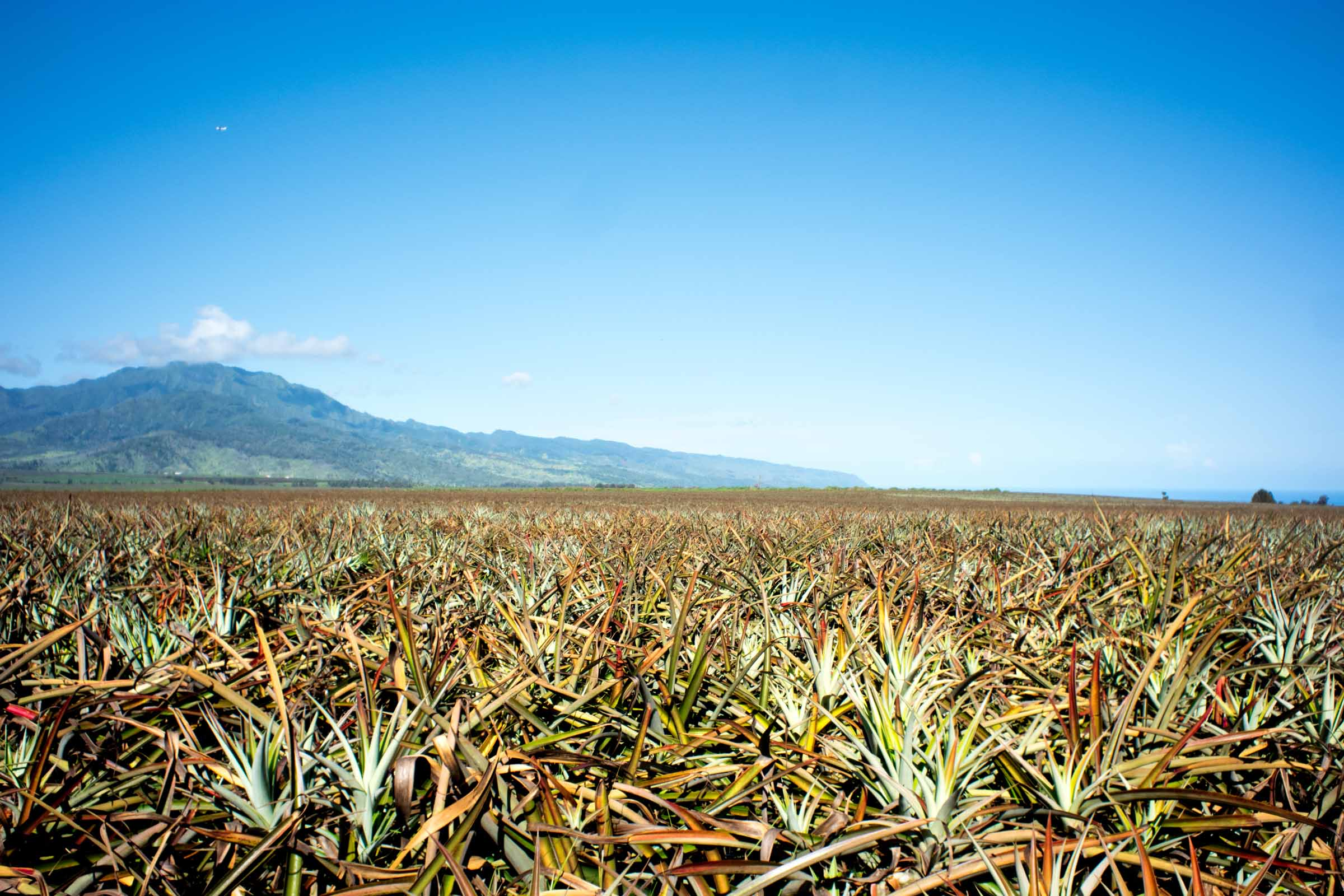 Dole-Pineapple-Fields.jpg
