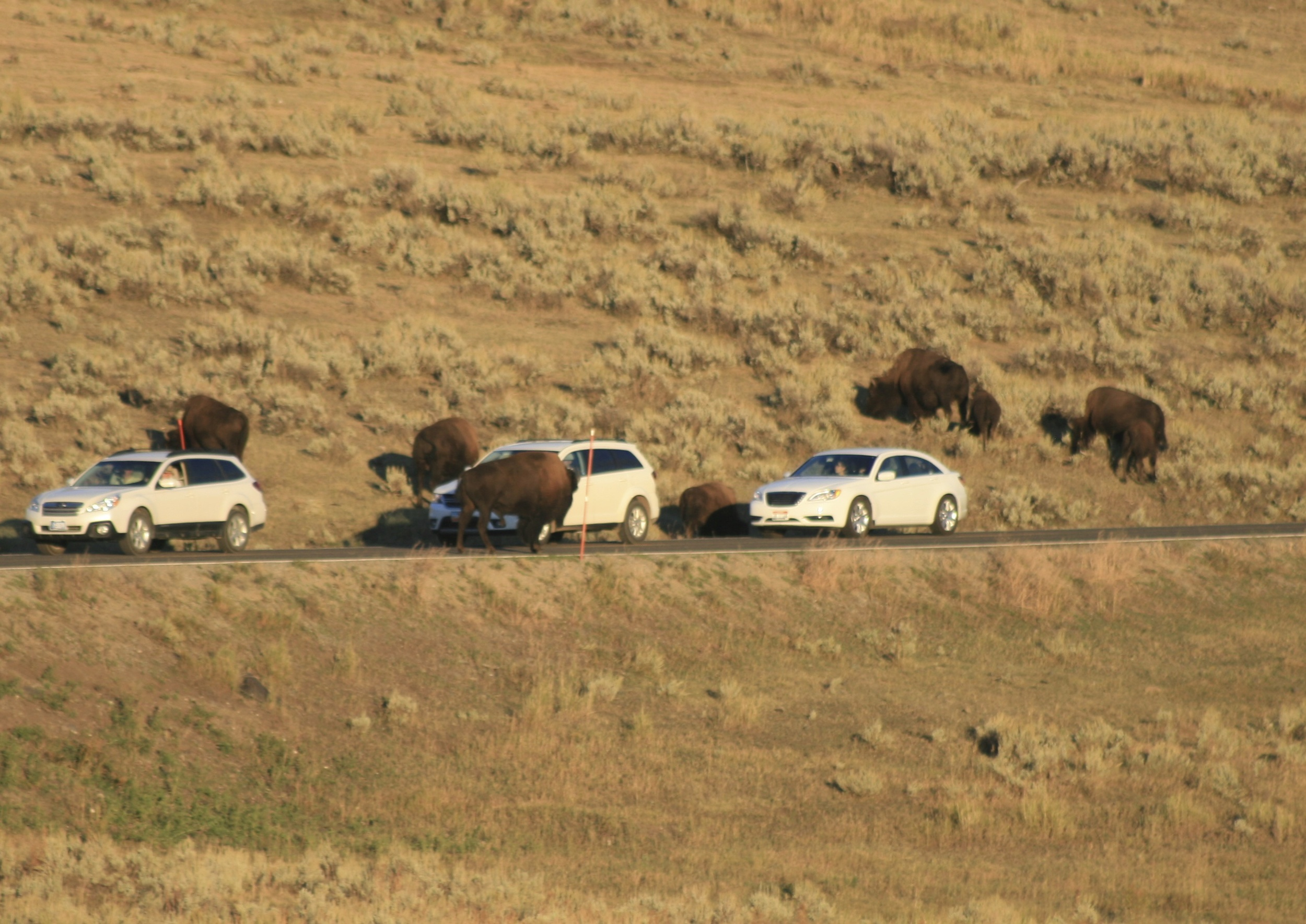 Bison each taking their turn annoying cars by standing in the road and pretending they don't get it in the Lamar Valley.