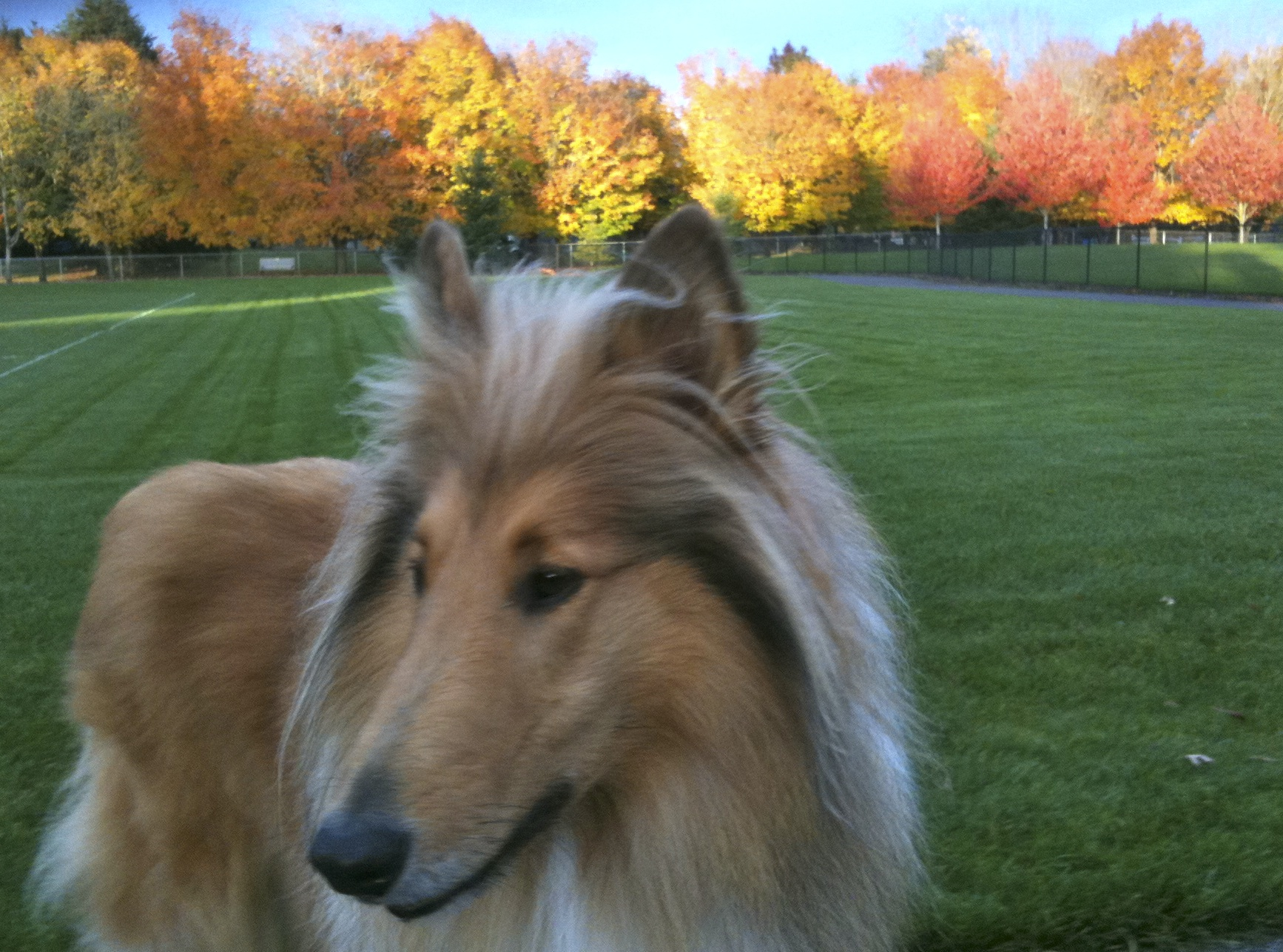 Scotty in the park in autumn