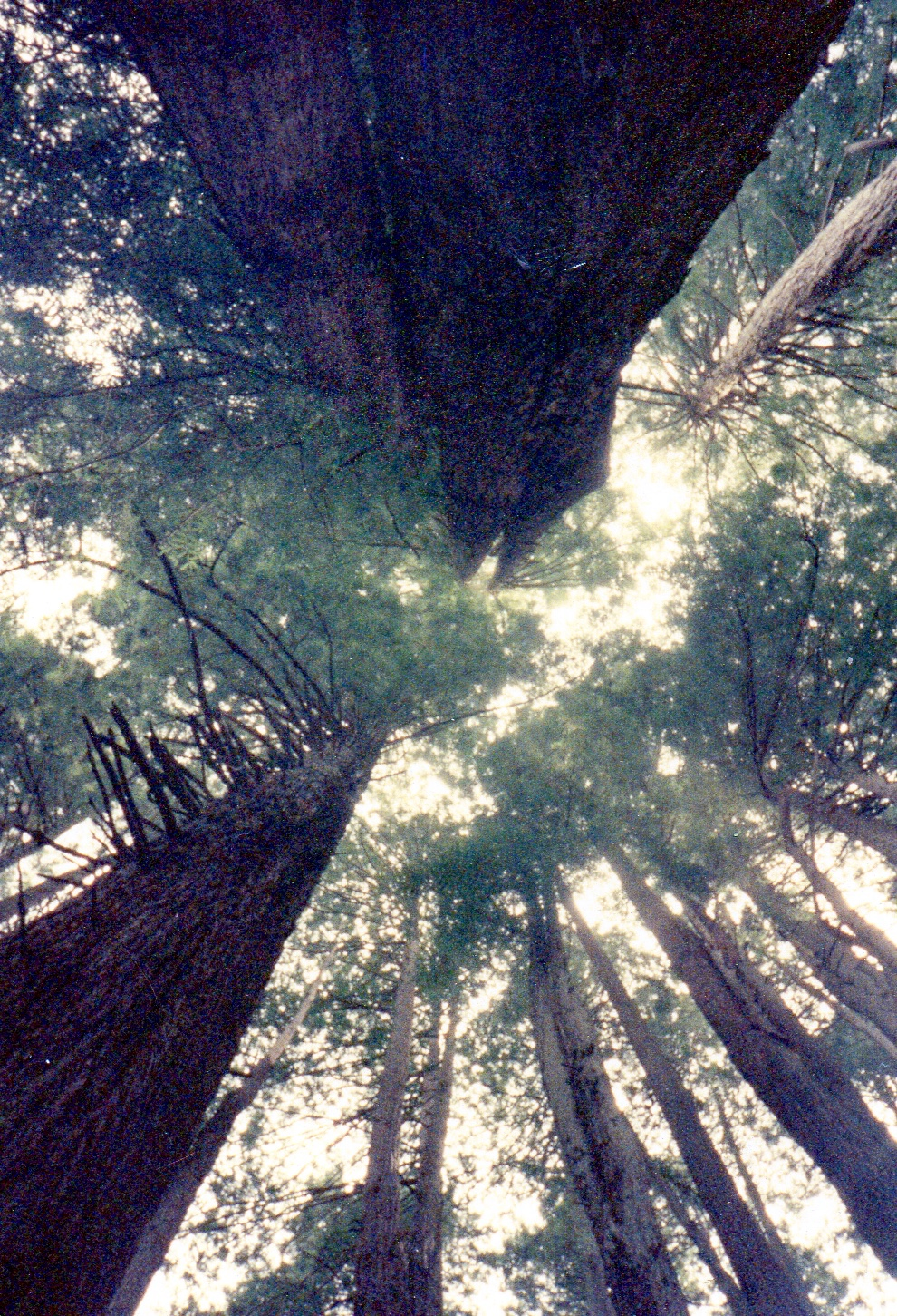 A photo of the redwoods I took in the 90s. It is the inspiration for the painting Redwoods Sky.