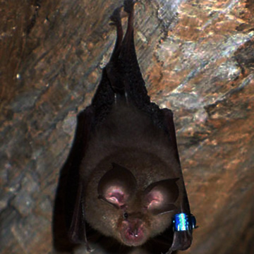 A newly discovered coronavirus in Chinese horseshoe bats can be transmitted directly from bats to humans. Here's how this breakthrough could help thwart future outbreaks.