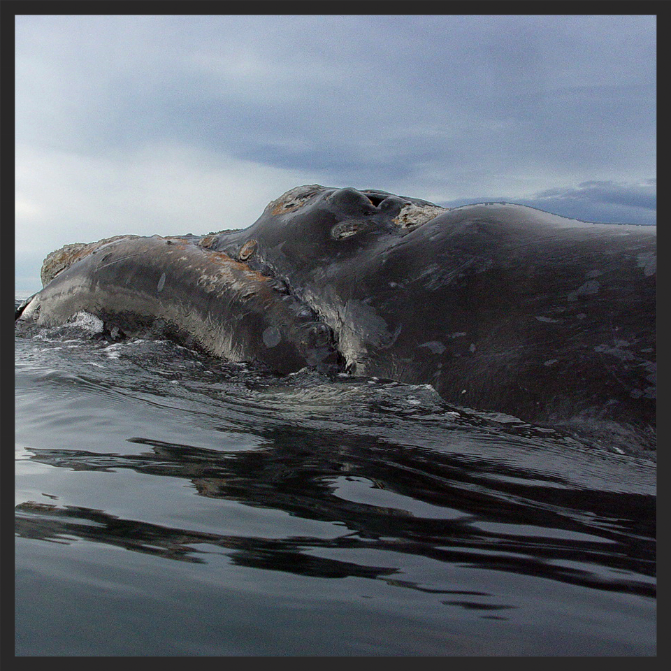 The whales are indicators of ocean health.