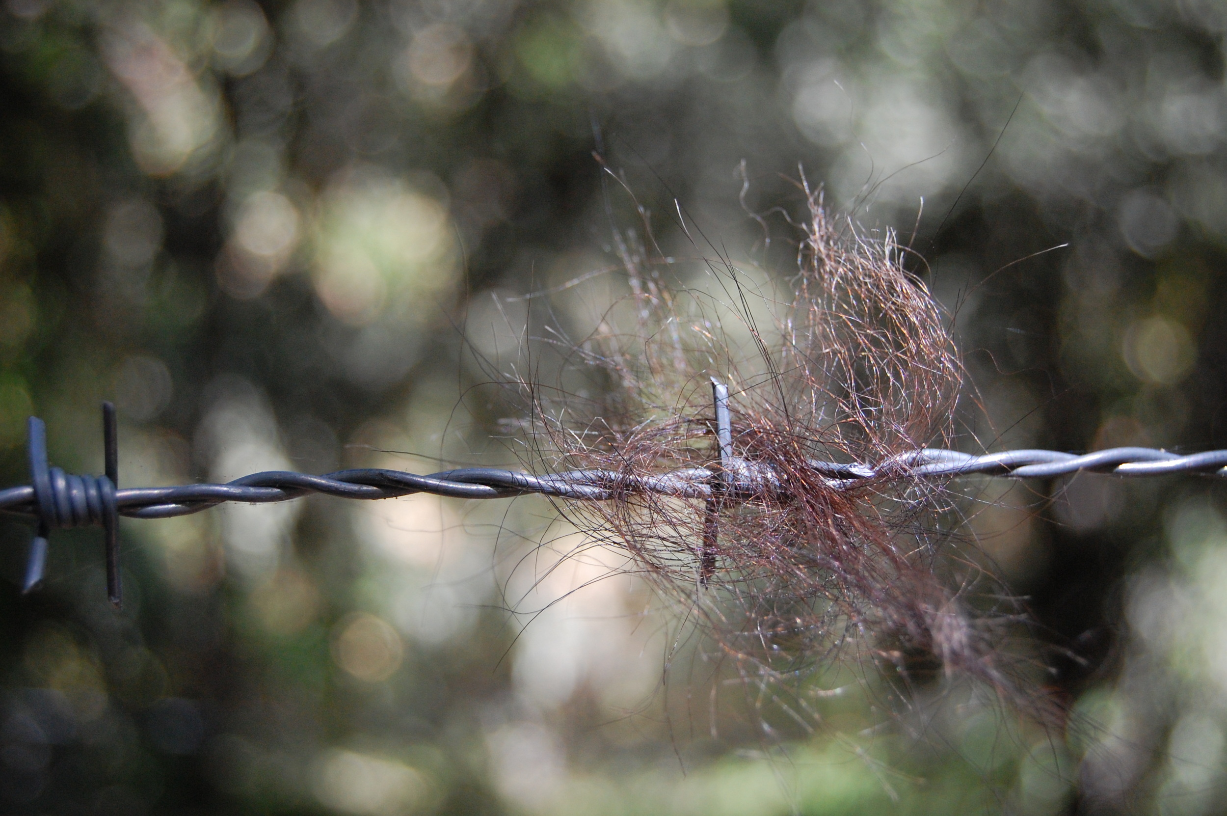 Hair on the barbed wire corral.