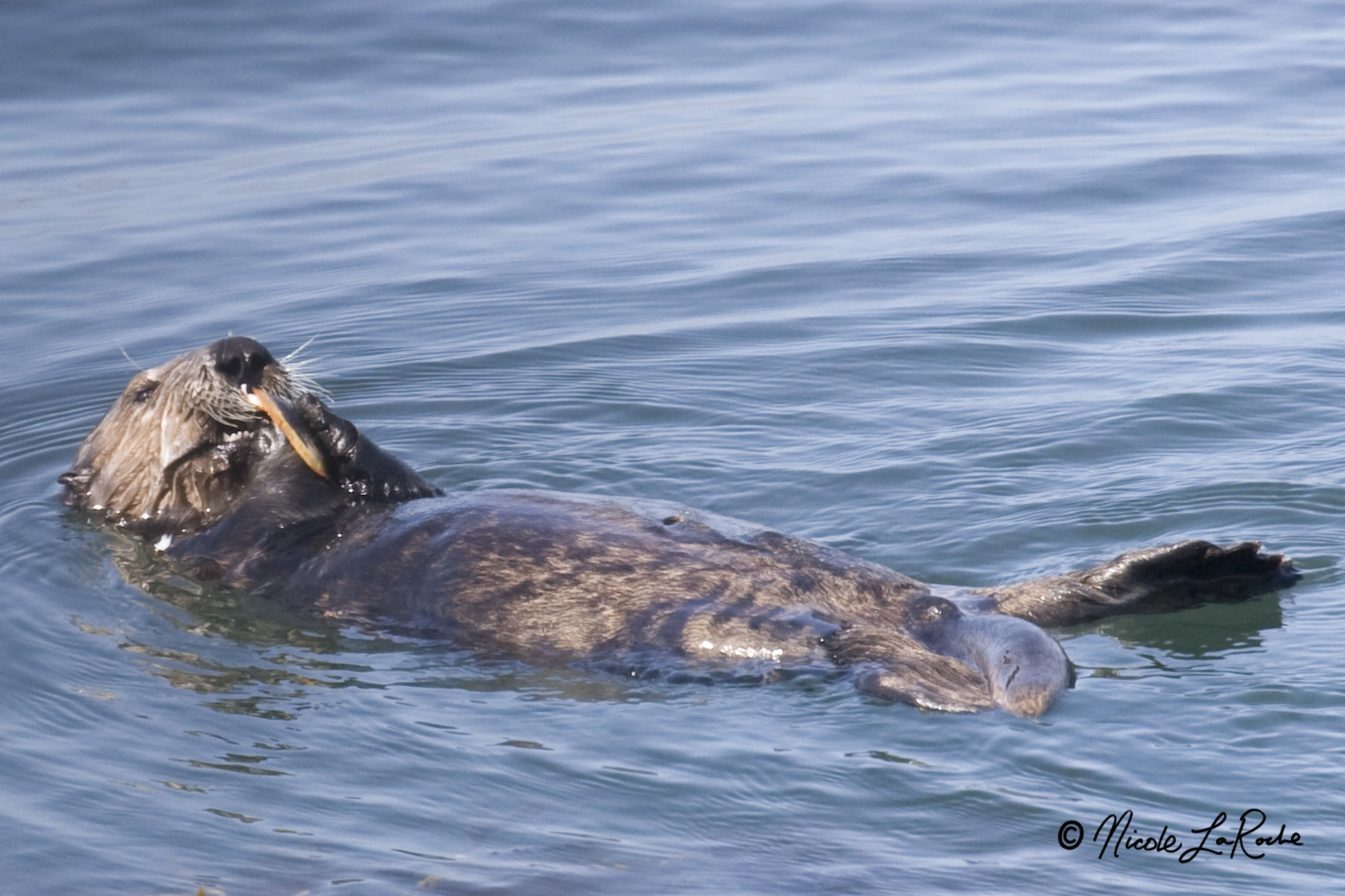 """""""The toxin flowing to the ocean is getting concentrated in invertebrates, and because otters eat so many [invertebrates], we think that may be how they're getting exposed."""" –Dr. Melissa Miller"""
