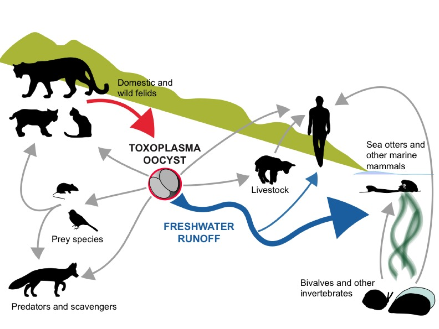Here you see Toxoplasma gondii's complex journey from prey species to cats to the sea (or to humans or livestock). Oocysts are key ingredient in that transport.