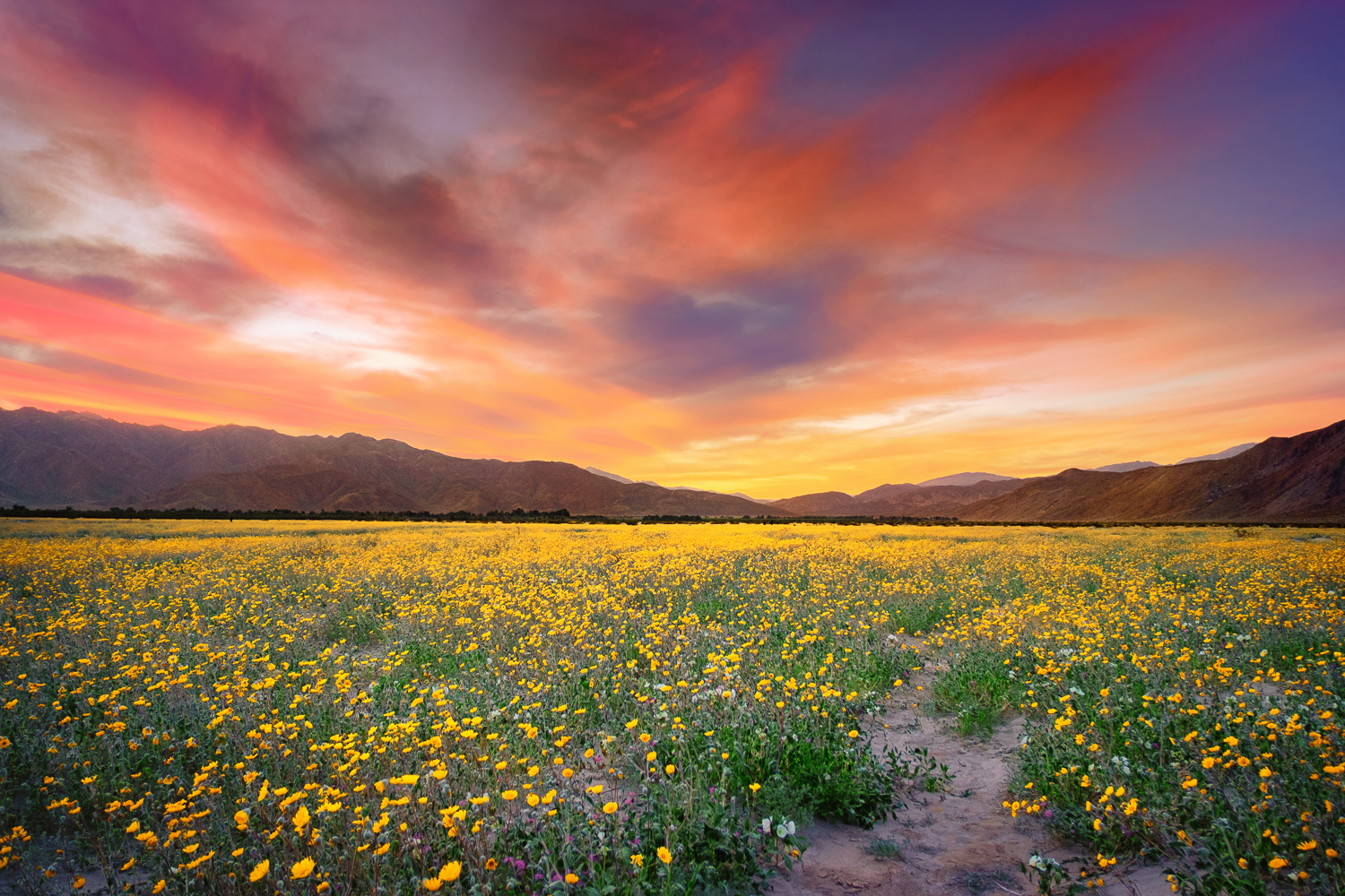 A field of desert sunflowers in Henderson Canyon, north of Borrego Springs