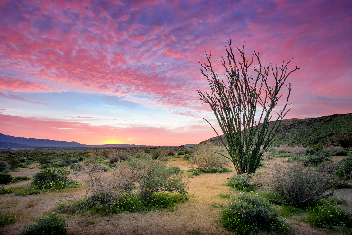 Ocotillo sunrise in Borrego Palms Canyon