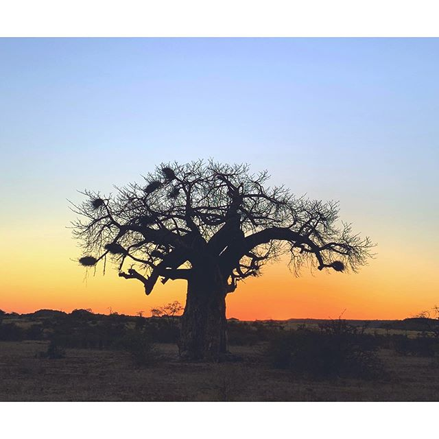 Baobab sunrise.