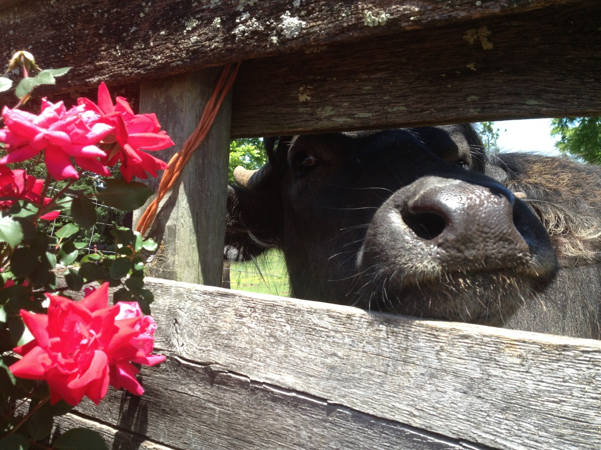 One of my father's best friends, Gracie the water buffalo. Both are sorely missed.