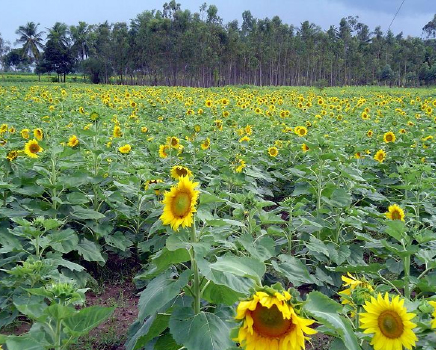 Local farmer, Charles Howard   donated ¼ acresof sunflowers for our students to harvest. Sunflower seeds have a high oil content and are a renewable source of biofuel feedstock.