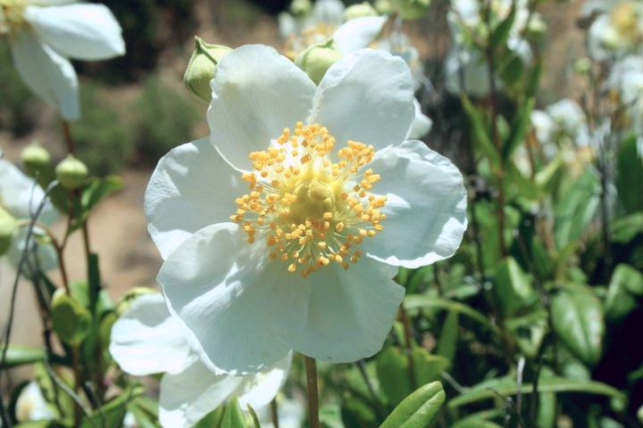 carpenteria_californica.jpg