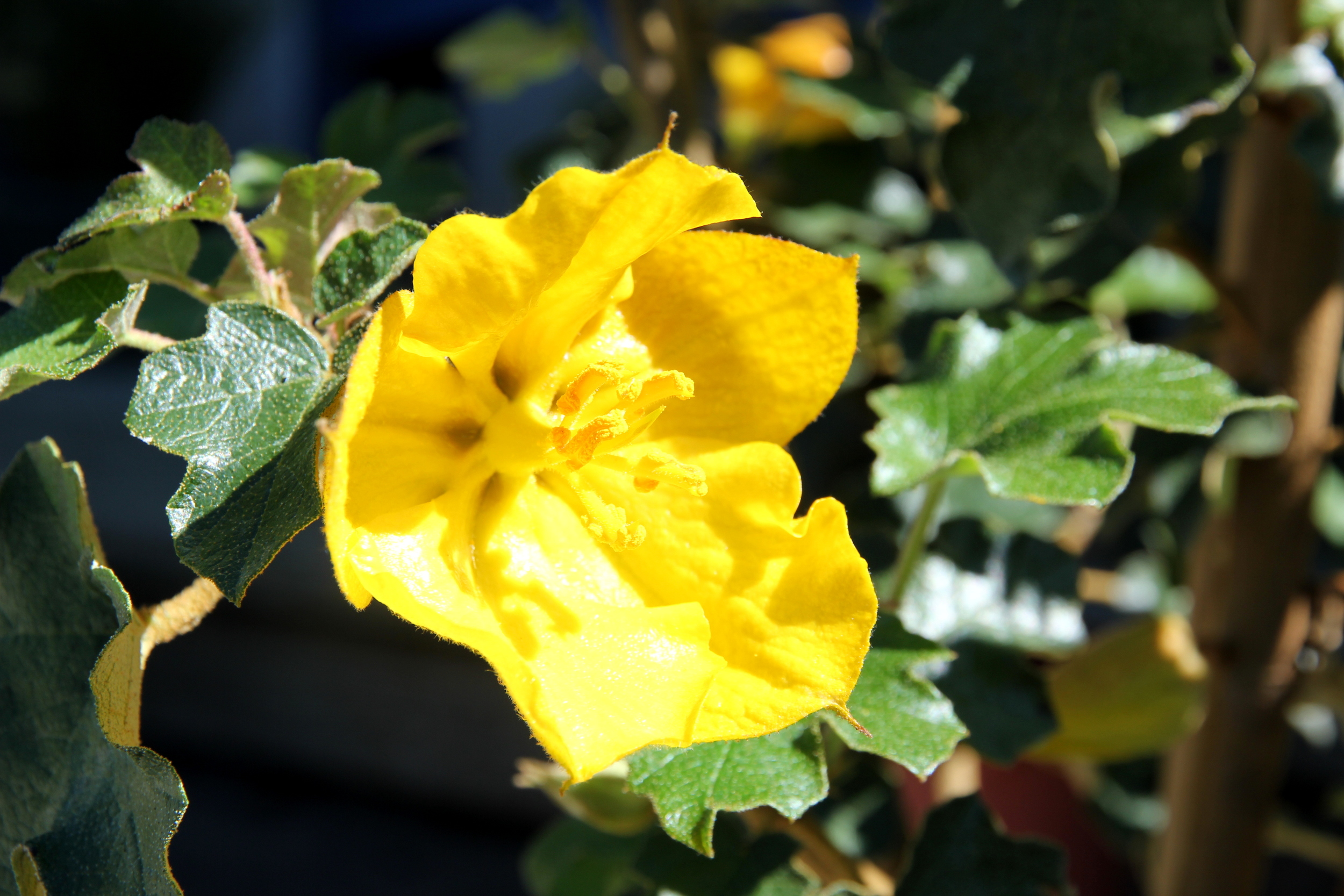 fremontodendron.JPG