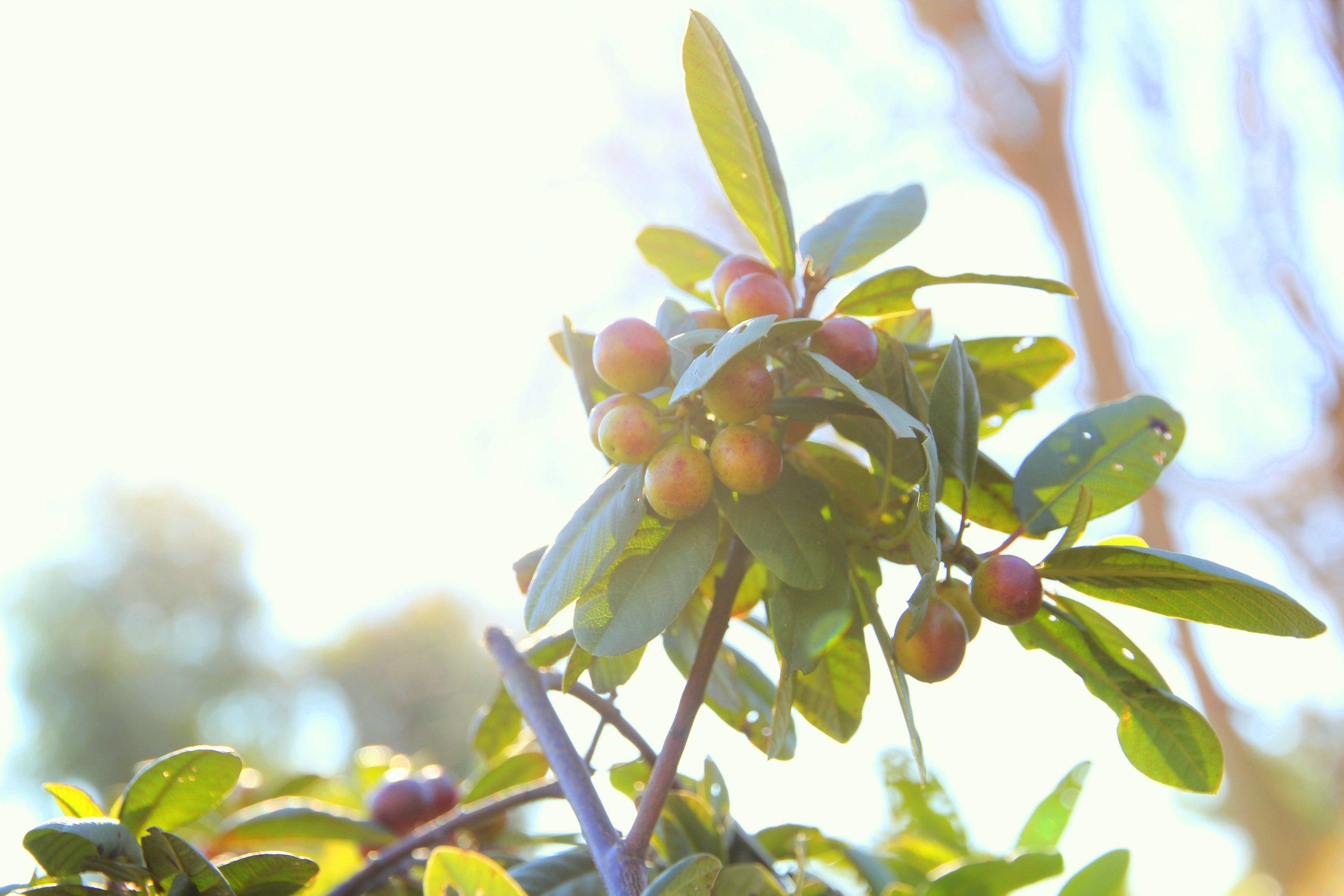 rhamnus_californica_coffeeberry_2.JPG