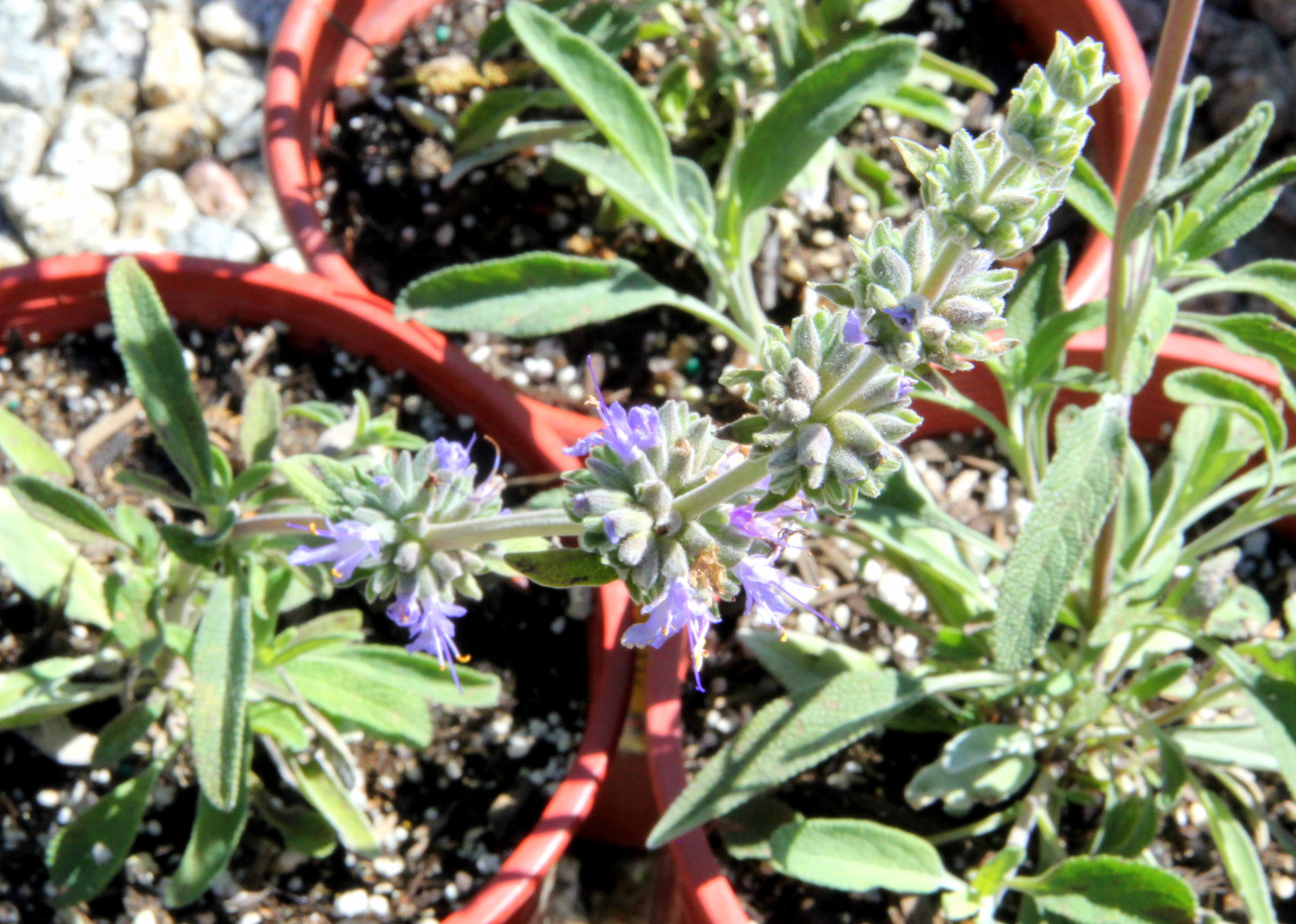 Salvia_bees_bliss (2).JPG