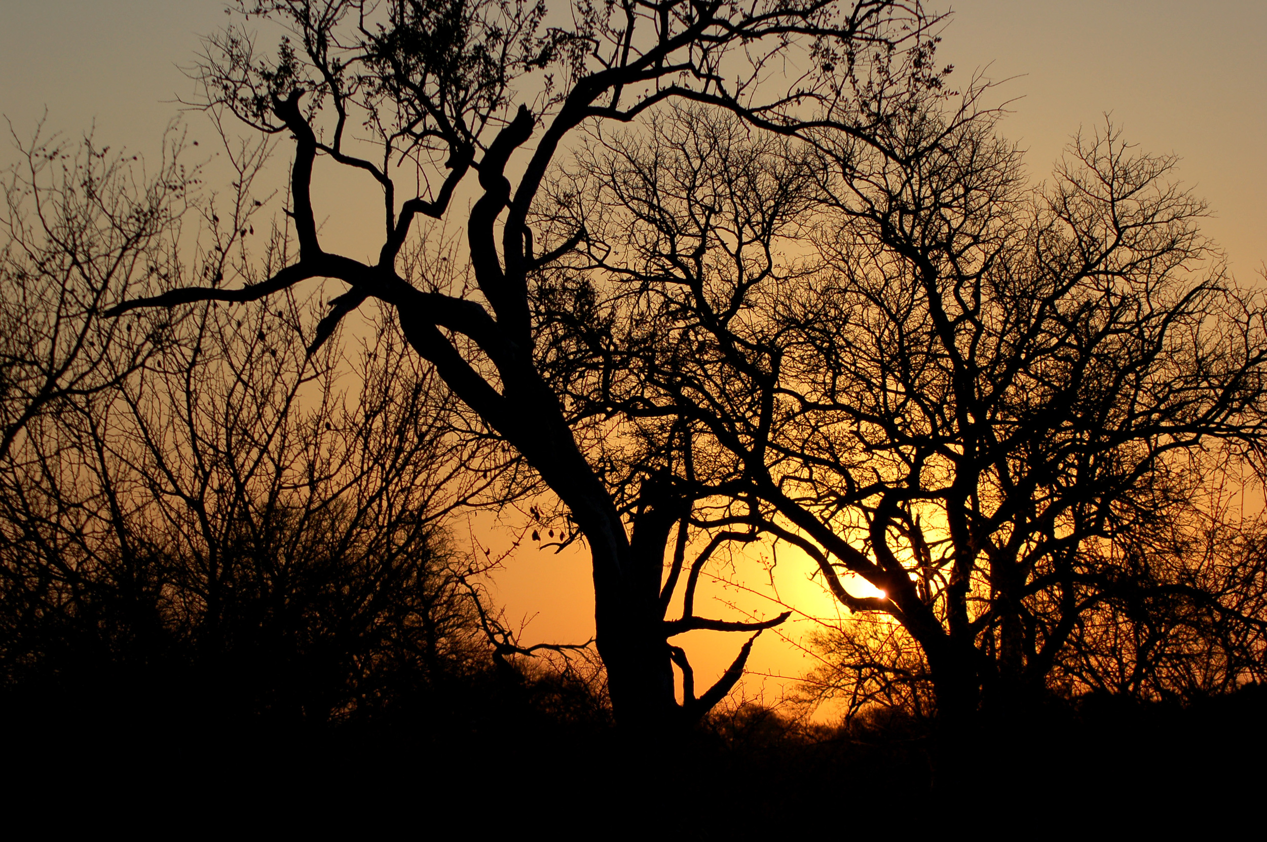 trees with setting sun