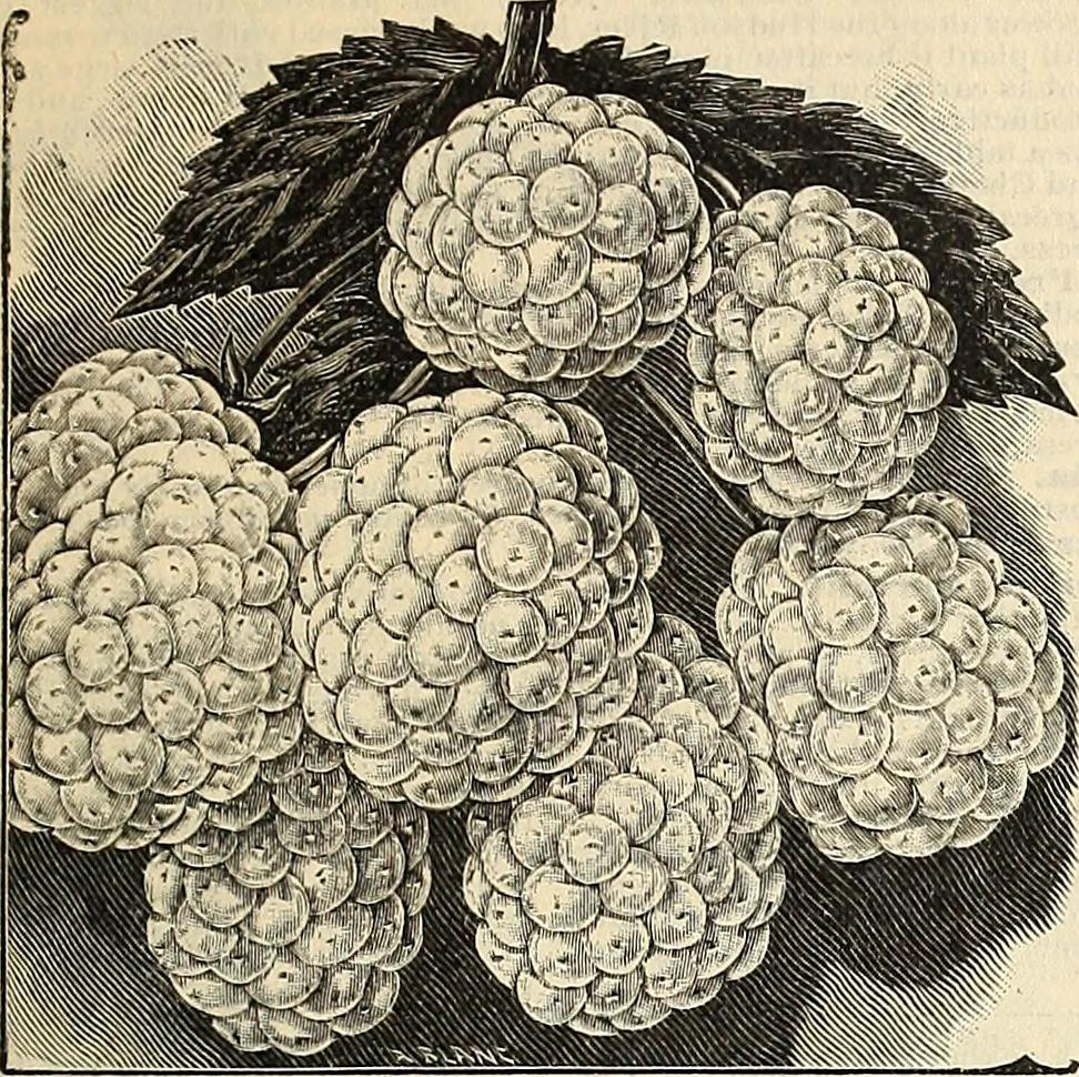 Luther Burbank's iceberg blackberry, perhaps related to that Ohio crystal varietal...