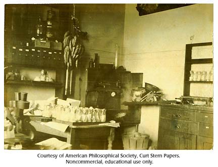 Bananas hang in bunches in Thomas Hunt Morgan's fly room, Columbia University, c. 1920.