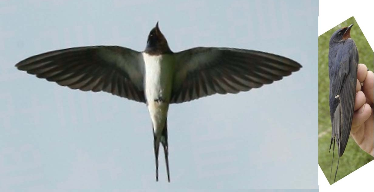 Starting point: two pictures of a swallow with approximally the same dimensions. Used as reference for modeling