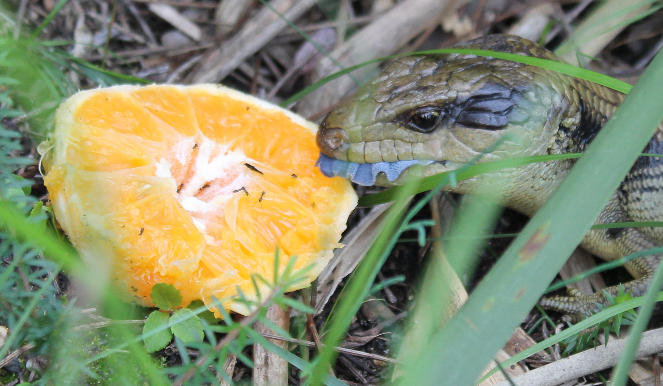 Blue-tongued lizard