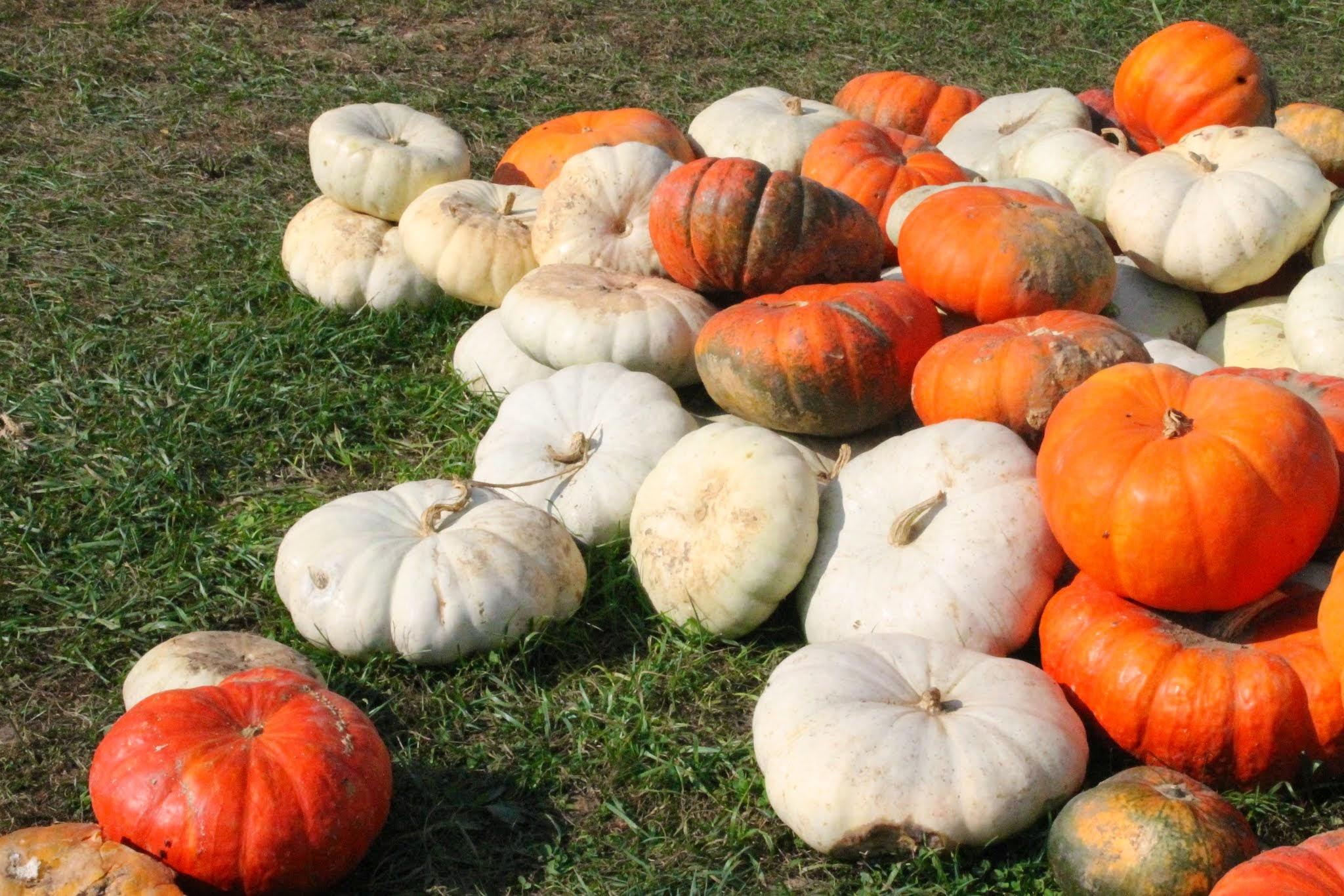White orange and red Pumpkins. Kentucky.