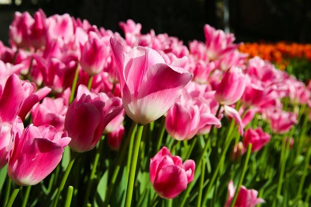 Pink tulips growing in field