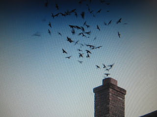 A twinkling cloud of swifts at sunset. (Photo by the Accidental Naturalist--see note at bottom)