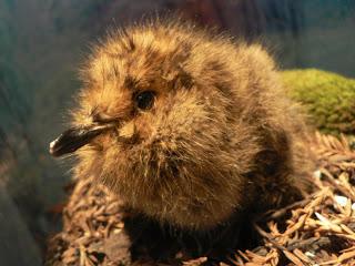 Little bird, big impact: A marbled murrelet chick. (Photo by Peter Halasz)