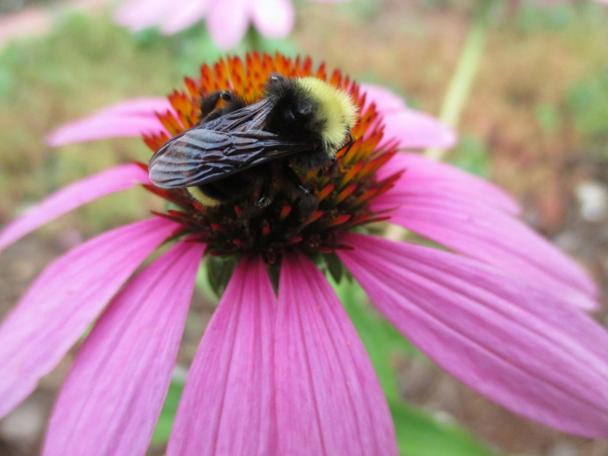 Echinacea blooms offer late-season feast to a variety of pollinators, including this one left out of my field guides.