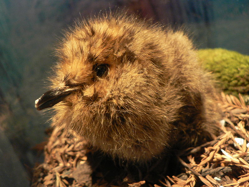Marbled Murrelet chick photo by Peter Halasz