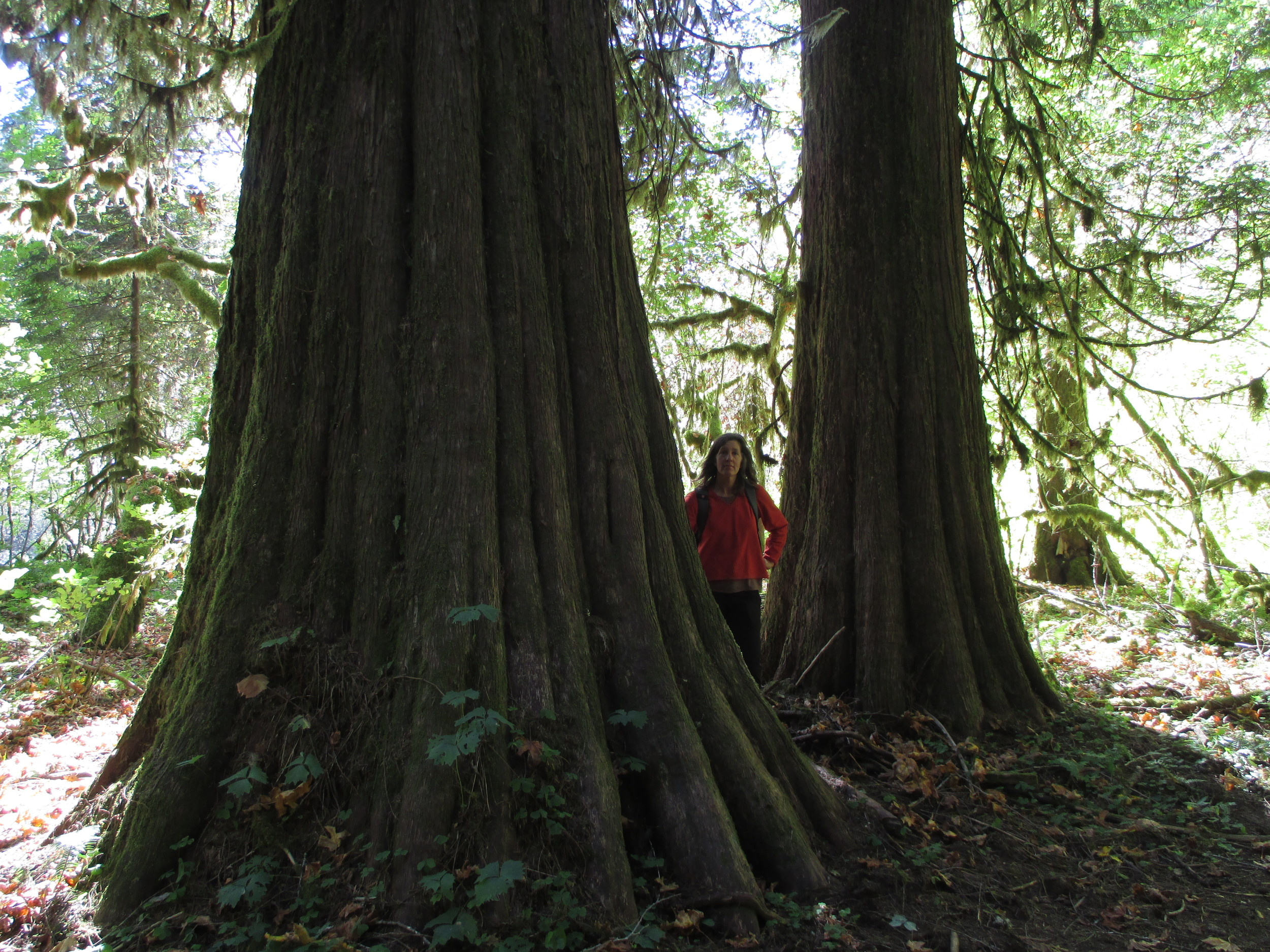 Trees identified (old-growth western red-cedar), photograph taken (to show ME in relation to the trees), and now posted....I have Fowled up. This is the Cedar Flats Natural Area of Gifford Pinchot National Forest.
