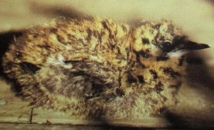 Perhaps someone can make a cookie cutter to look like thismarbled murrelet chick, made famous in 1974 by being the first of this species to be discovered on its nest.
