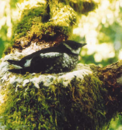 A juvenile marbled murrelet on its nest in the forest.     Photo courtesy Hamer Environmental.