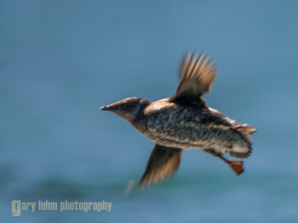 A Marbled Murrelet on the wing. This robin-sized seabird can fly up to 103 m.p.h but may not be able to escape the impacts of the U.S. Navy's proposed Northwest Training and Testing program planned for the Olympic Peninsula.