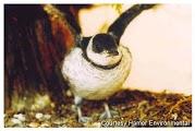 Murrelet chick ready to fledge. (Photo courtesy Hamer Environmental).