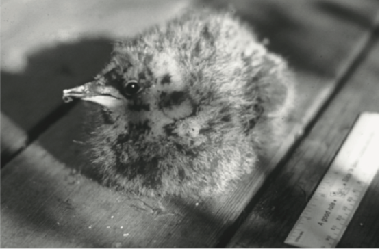 The downy chick discovered on its nest--a mossy branch--on August 7, 1974 in Big Basin Redwood State Park in California. Photo by Bruce Elliott.