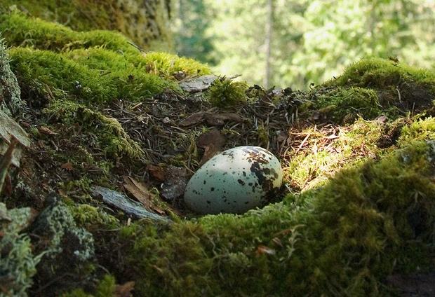 Marbled-Murrelet-single-egg-Nick_Hatch_US_ForestService.png