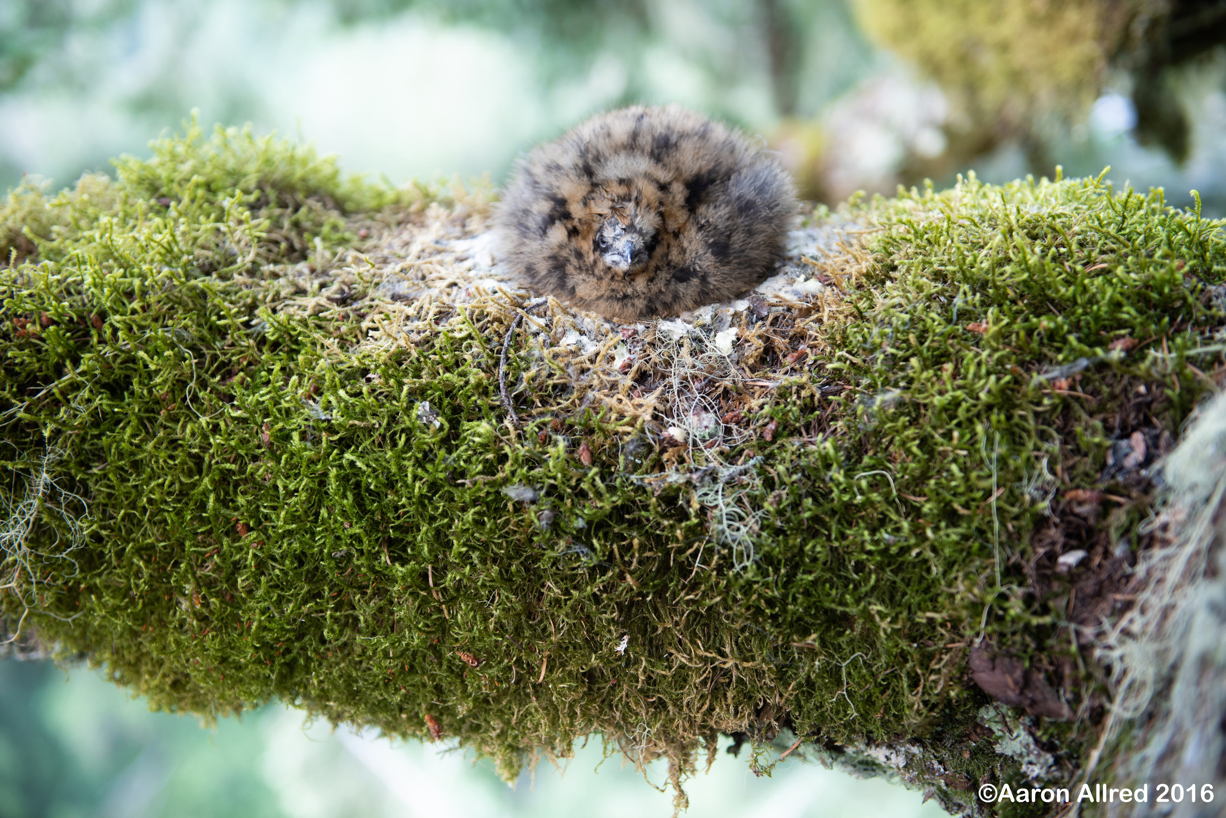 The Marbled Murrelet chick—a wisp of life on its mossy nest branch.