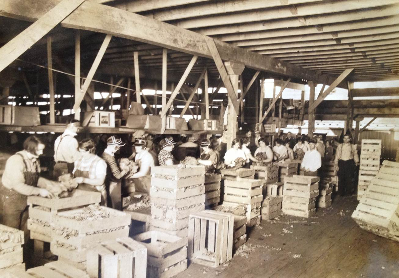 Interior view of Lettuce Farm Packing Plant. Employees graded and packaged lettuce.