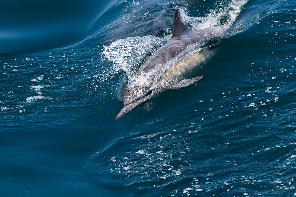 dolphin1-fscalpi.jpg