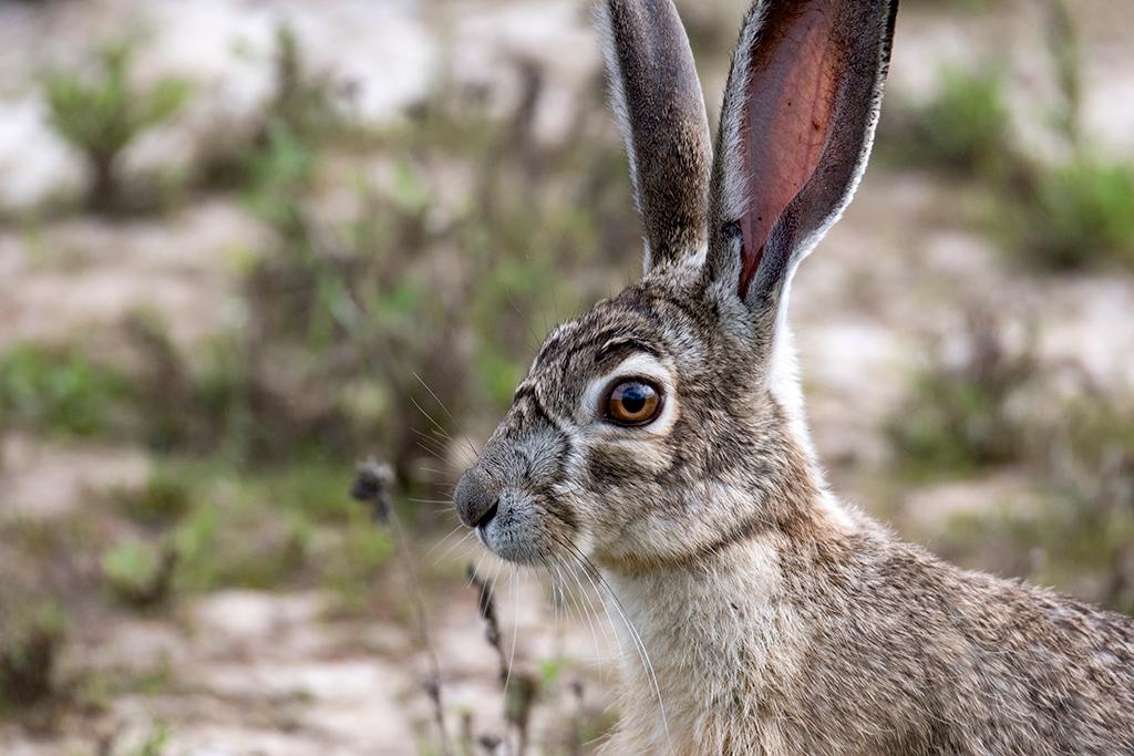 hare18x12.jpg