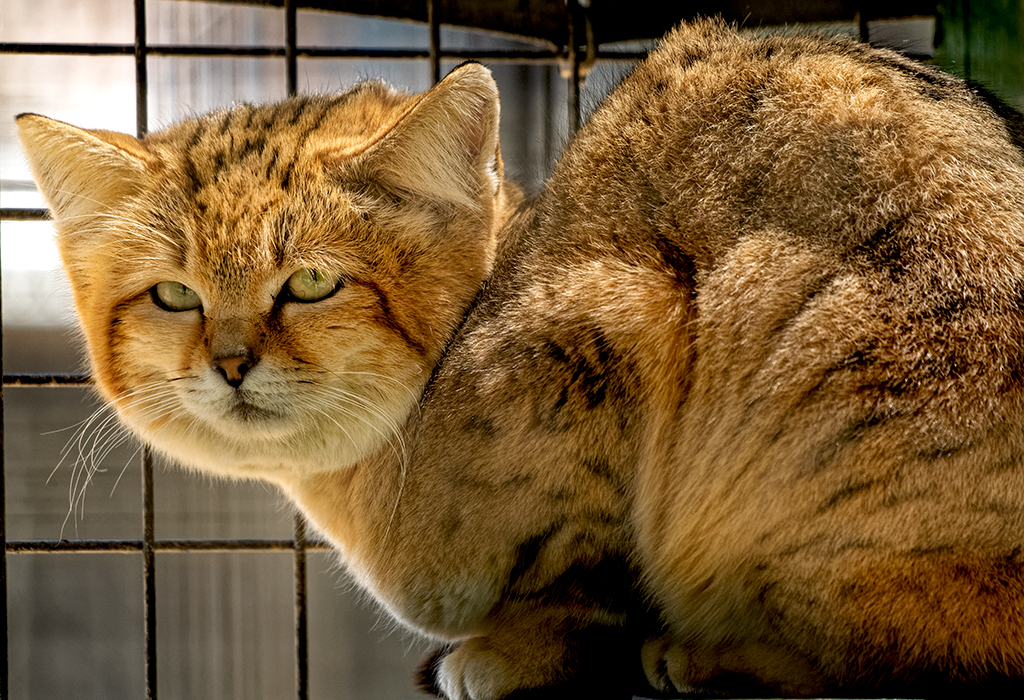 Sand Cat - Felis margarita
