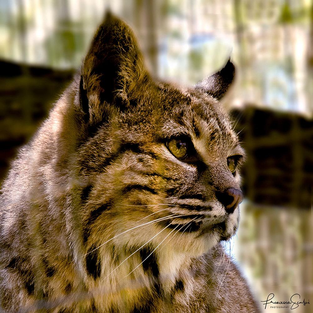 In memory of Billy the Bobcat