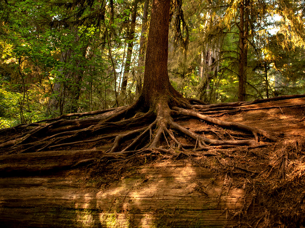 A new redwood growing from a Nurse Log.