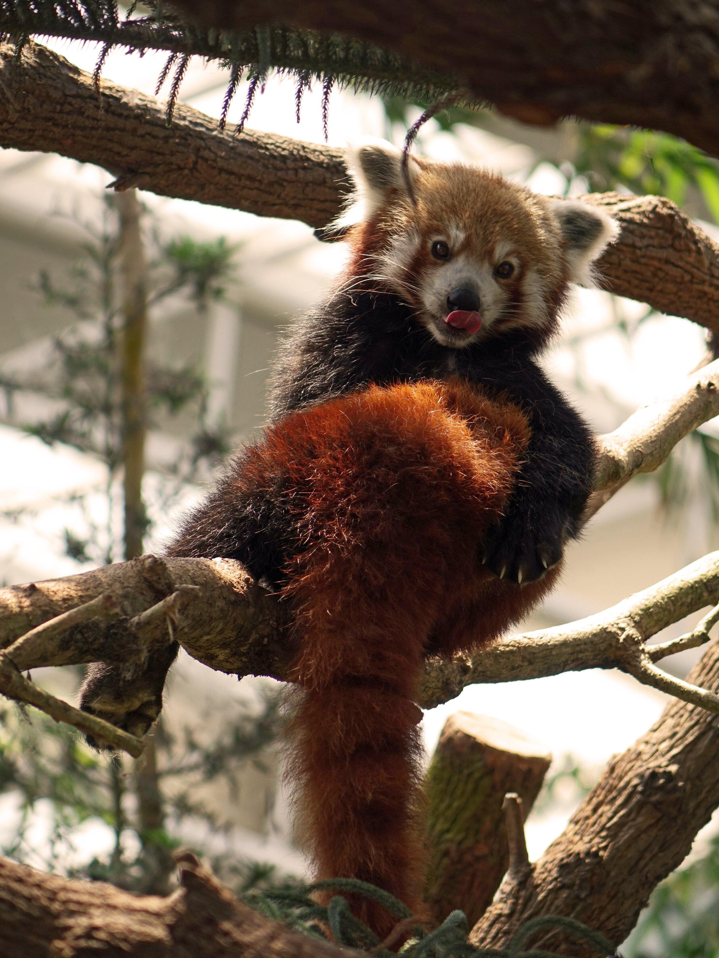 red-panda-505146.jpg