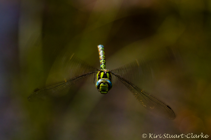 Male Southern Hawker Hovering
